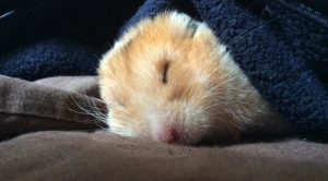 "Ten year old Katie Kane's prize winning shot of hamster Izzy in the ""Portrait of a Pet"" category"