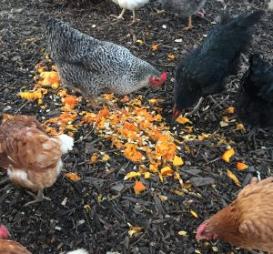 Even the Braehead flock of hens got to enjoy some of the pumpkins!